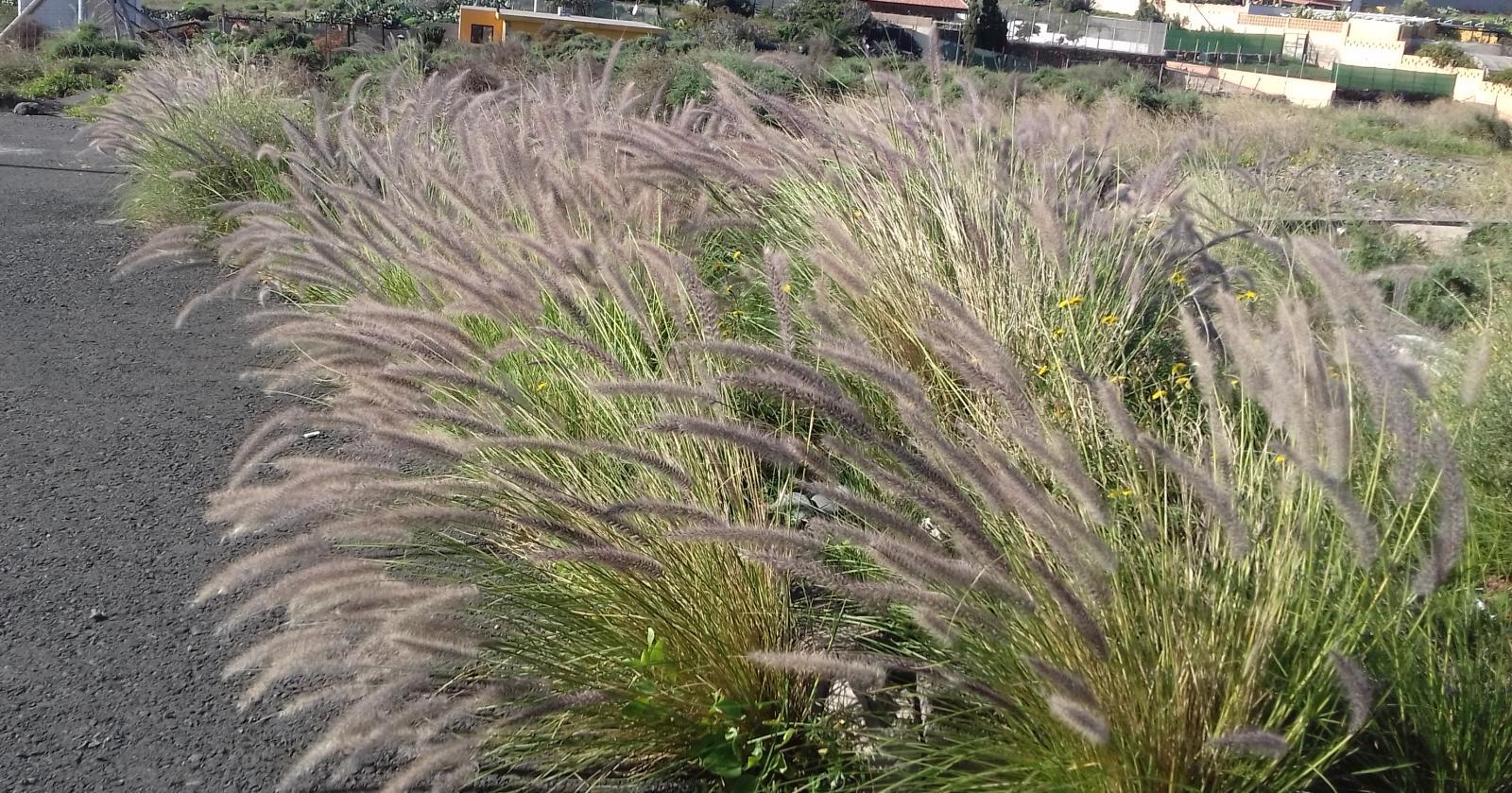 Imagen de plantas con semillas de rabogato